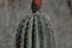 Baja-finch-on-cactus-1-72-600