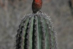 Baja-finch-on-cactus-1-72-600