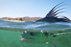 roosterfish fin