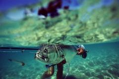 roosterfish underwater